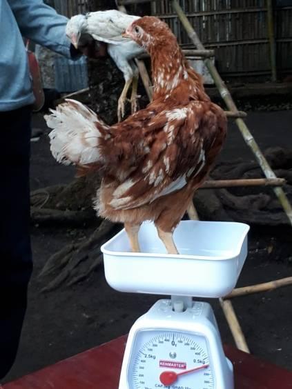 Dengan cepatnya masa panen pada ayam joper, di harapkan kebutuhan akan daging ayam dapat terpenuhi