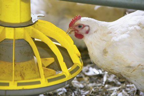 Wadah Pakan Ayam