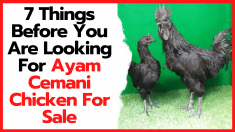 7 Things Before You Are Looking For Ayam Cemani Chicken For Sale