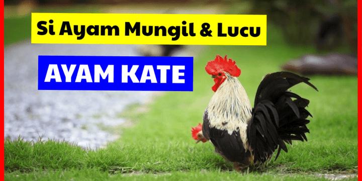 Ayam Kate Si Ayam Mungil dan Lucu