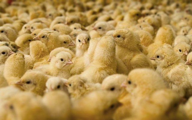Keunggulan-keunggulan ayam broiler