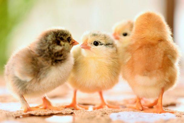 Ayam apa yang cocok?