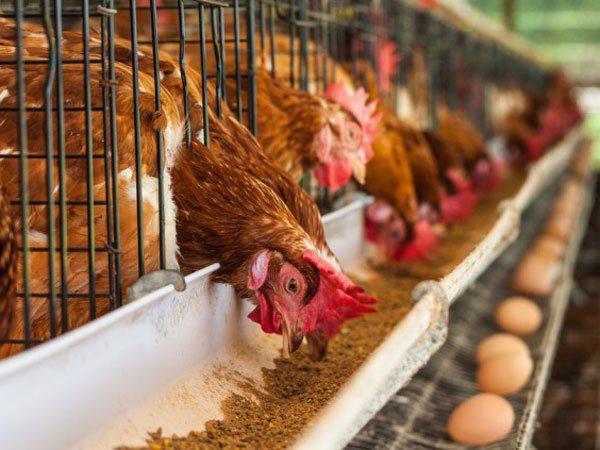 Ada beberapa faktor yang mempengaruhi keberhasilan beternak ayam petelur