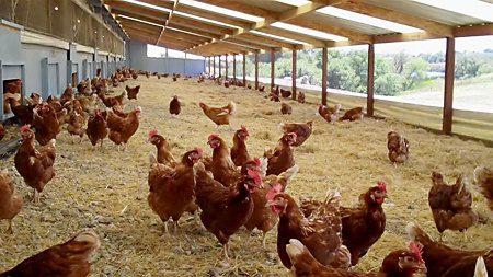 Kandang Ayam Petelur Umbaran