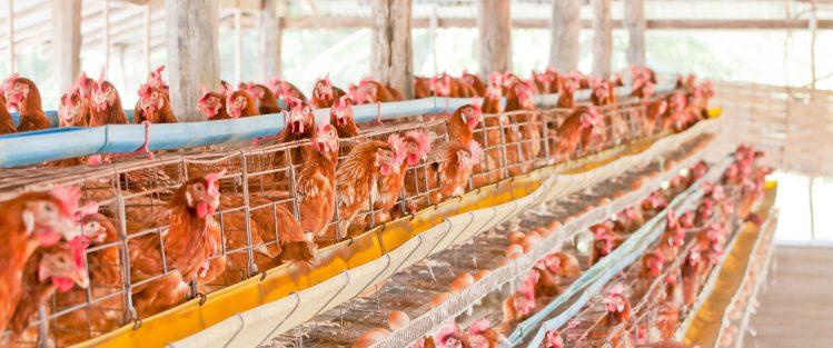 Penyusunan Kandang Baterai berguna untuk memudahkan peternak dalam pengambilan telur