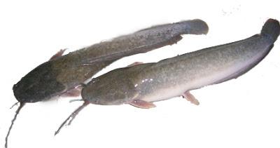 Dua ekor ikan lele
