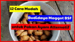 12 Cara Mudah Budidaya Maggot BSF untuk Pakan Ayam Alternatif