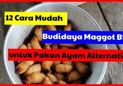12 Tahapan Cara Mudah Budidaya maggot BSF (Black soldier Fly) untuk Pakan Ayam Alternatif