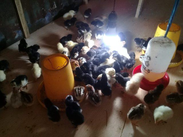kandang ayam kampung asli