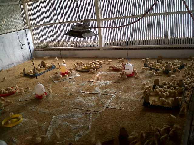 Model Kandang Ayam Petelur Tipe Postal atau Koloni