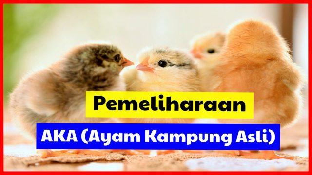 Pemeliharaan AKA (Ayam Kampung Asli)