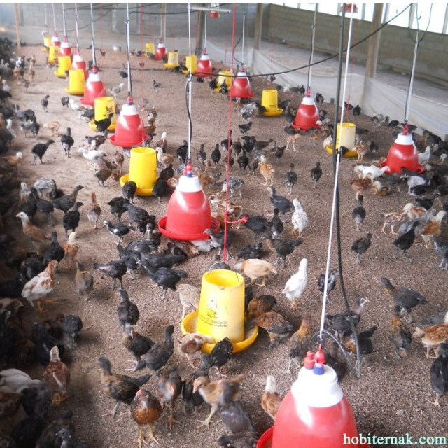 Pemberian pakan yang tidak merata juga akan mengakibatkan ayam mejadi kanibal