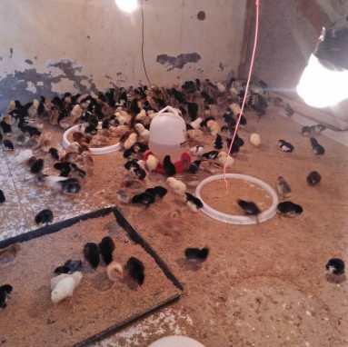 Peluang beternak ayam kampung asli
