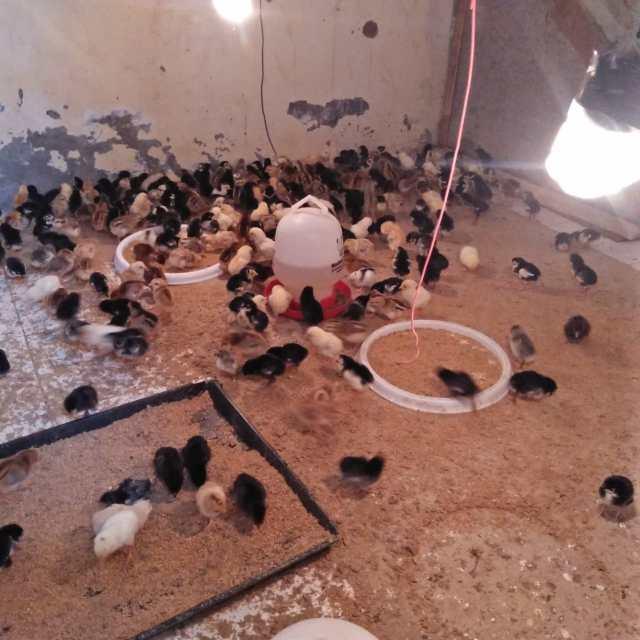 Ayam Kampung Asli