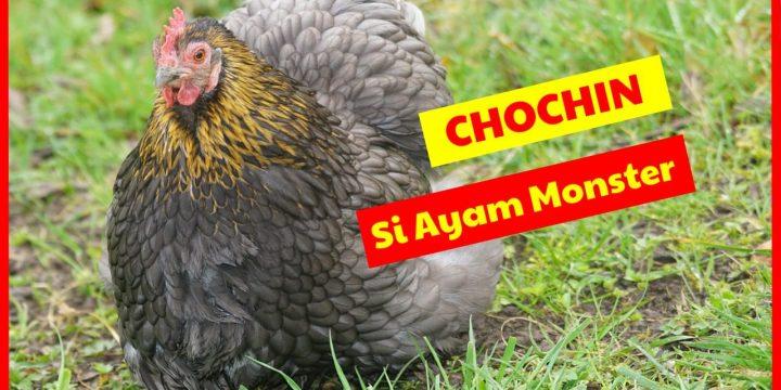 Si Ayam Monster Berbadan Kekar dan Berbulu Lebat, Ayam Cochin Semakin Diminati
