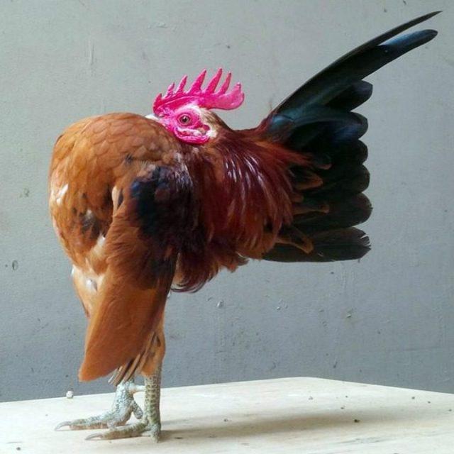 Ayam serama adalah ayam terkecil di dunia