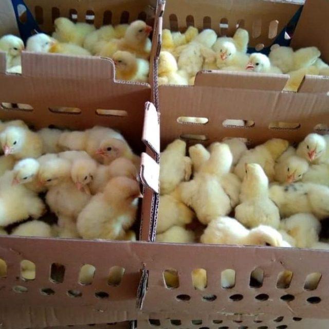 Untuk mendapatkan DOC Ayam Pejantan Anda bisa mendapatkannya di hobiternak.com . Dengan langsung chat via WA di 081220288686 Anda bisa mulai beternak ayam pejantan | image 2