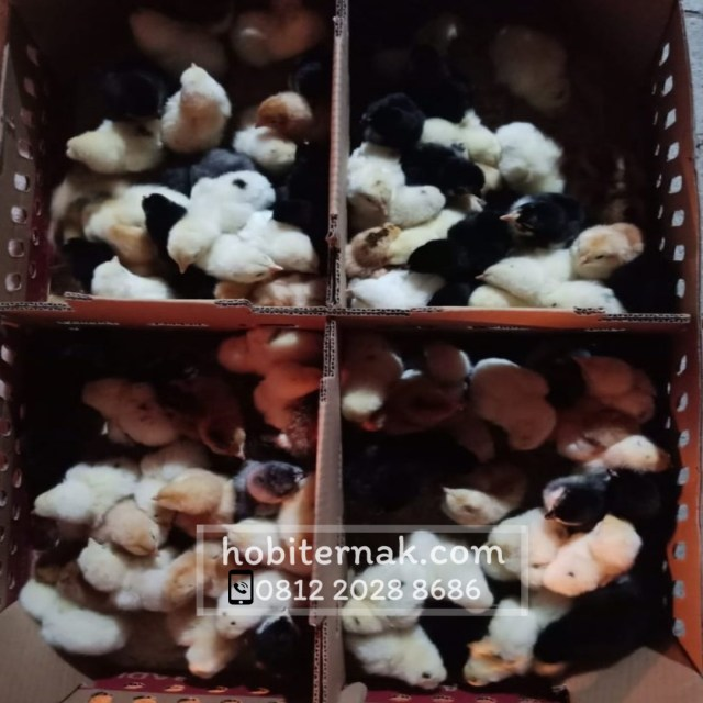 Ternak ayam adalah salah satu kegiatan usaha yang sering diternakkan oleh masyarakat Indonesia. Dari banyak jenis ayam, ayam joper lah yang bagus dan potensial untuk diternakkan.