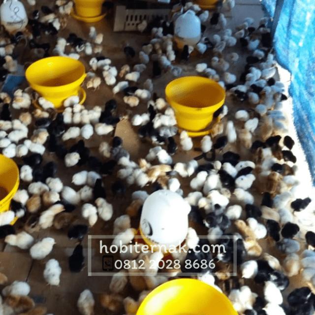 Selain mudah diternakkan, bagi pemula ayam joper ini sangat cocok karena perputaran modalnya cepat sebab masa panennya juga cepat.