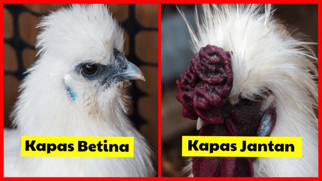 Lihat bedanya ayam kapas betina dan jantan