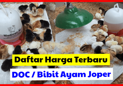 √ Murah !!! Harga DOC Joper (Ayam Kampung Super) Tahun 2020