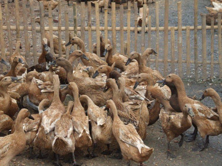 Pemberian pakan untuk bebek petelur harus sesuai dengan gizi yang dibutuhkan untuk bebek