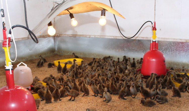 Pemeliharaan anakan Bebek Mojosari didalam kandang Starter