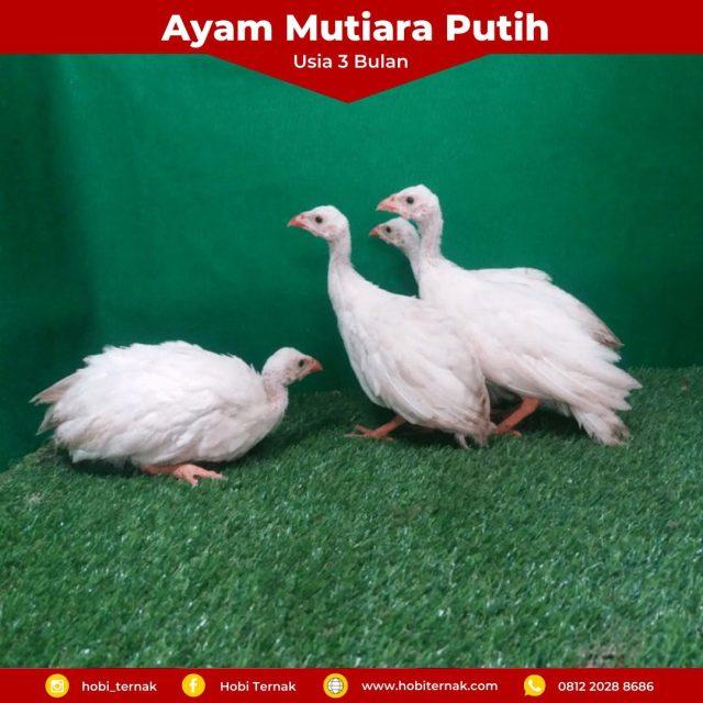 Ayam Mutiara Putih Usia 3 Bulan