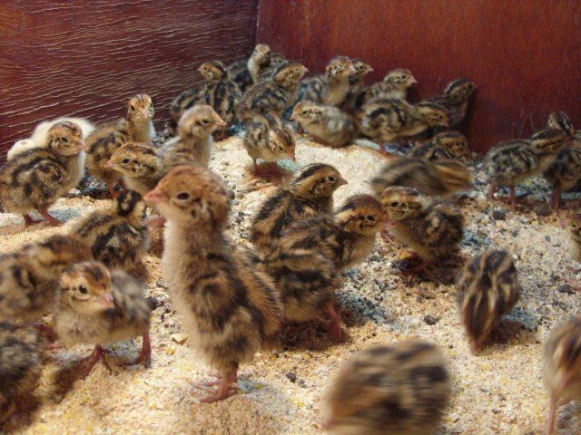 Ciri-ciri burung puyuh yang baik untuk kita ternakan