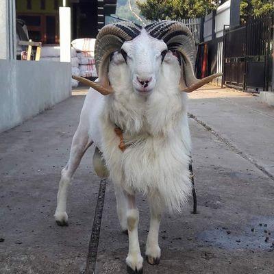 Semua orang bisa mencoba untuk beternak domba garut ini