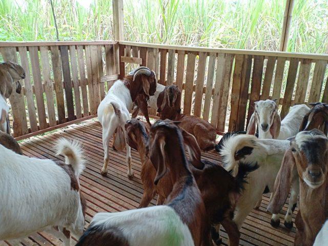 Kebersihan kandang kambing Jawa perlu di jaga agar kambing tetap dalam keadaan sehat atau terhindar dari serangan penyakit