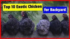 List Of Fancy Chicken Breeds Top 10 Exotic chicken for Backyard