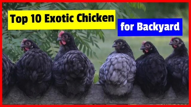 List Of Fancy Chicken Breeds Top 10 Exotic chicken for Backyard