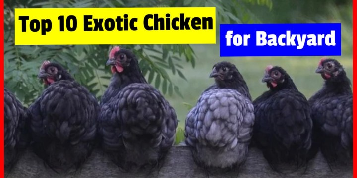 10 List of Fancy Chicken Breeds Which Suitable For Your Backyard