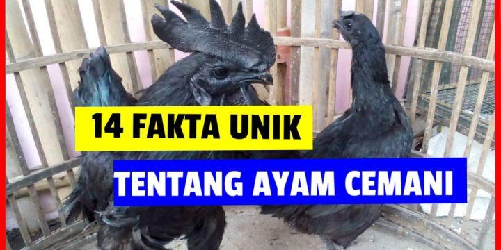 14 Fakta Unik Ayam Cemani yang Jarang Diketahui Masyarakat