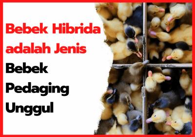 Bebek Hibrida adalah Jenis Bebek Pedaging Unggul