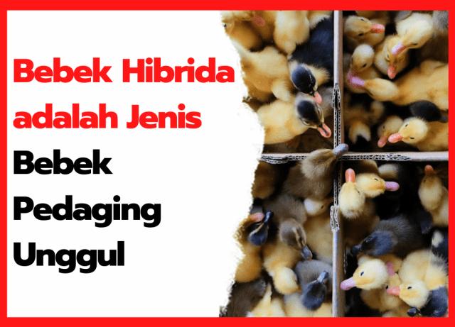 Bebek Hibrida adalah Jenis Bebek Pedaging Unggul | cover