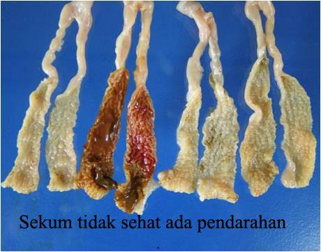 Penampakan usus unggas yang terkena penyakit Coccidiosis Bebek