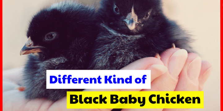 Find Different Kinds Of Cute Black Baby Chickens With Pictures