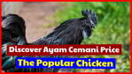 Ayam cemani price, the Indonesian native and popular chicken will be different in each country.