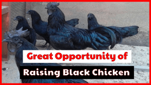 Let's see the great opportunity of raising black chicken.