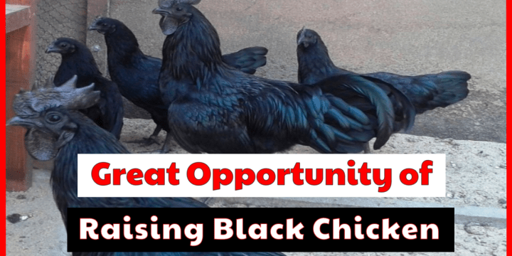 Let's See A Great Opportunity of Black Chicken Breeds Raising