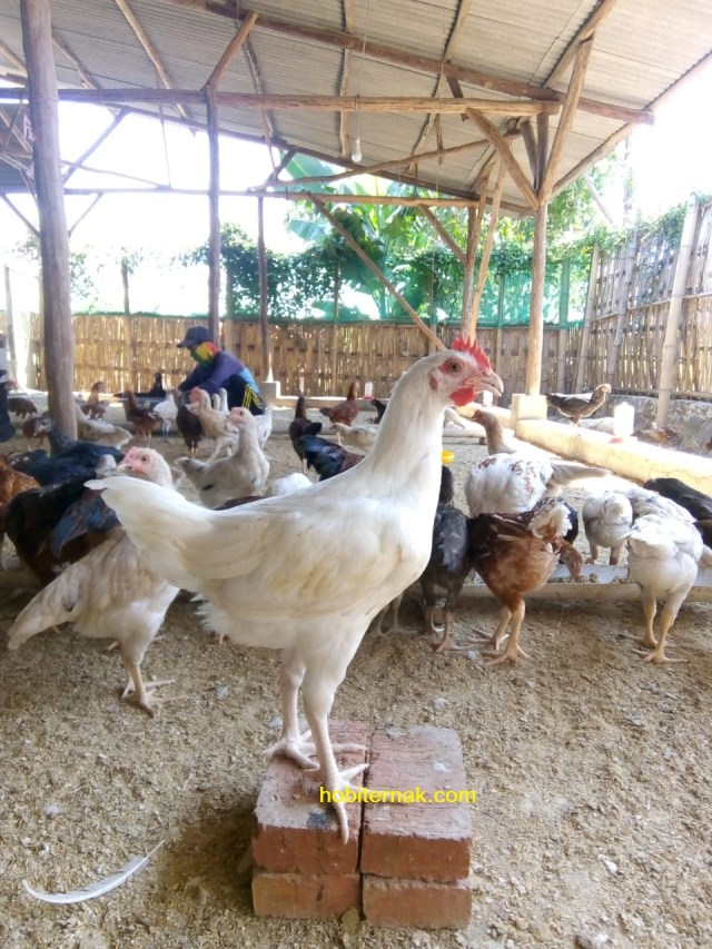 Ayam jawa super siap panen untuk dipasarkan dagingnya | image 3
