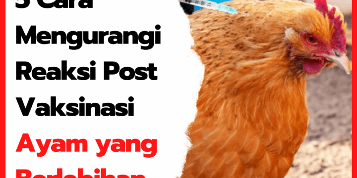 5 Cara Mengurangi Reaksi Post Vaksinasi Ayam yang Berlebihan