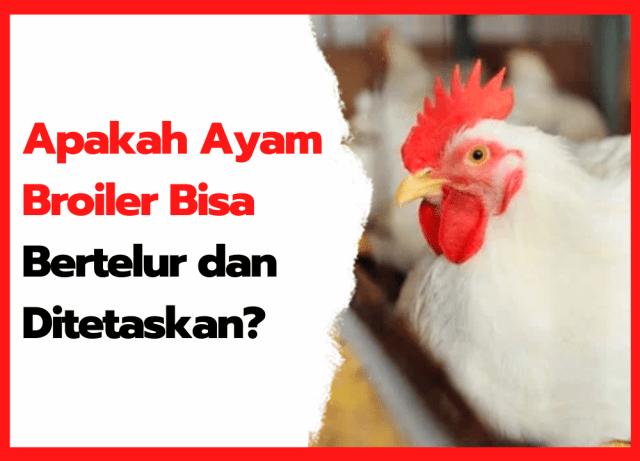 Apakah Ayam Broiler Bisa Bertelur dan Ditetaskan ? | cover