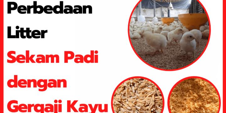 Perbedaan Alas Kandang Ayam Menggunakan Sekam Padi dengan Gergaji Kayu