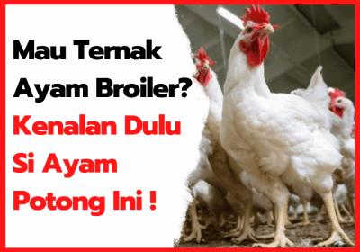 Usia 35 Hari Ayam Broiler Sudah Bisa di Panen