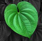 leaf contrast JT