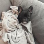 french bulldog cozy pierre