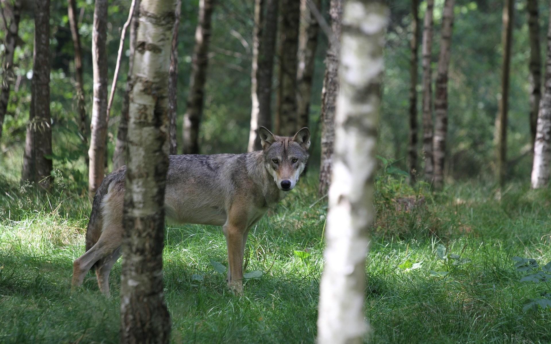 Wolf im Bundesrat